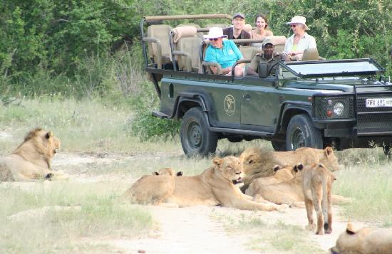Mohlabetsi Safari Lodge: Lions often take no notice of the safari vehicles, allowing for wonderful photo opportunities!