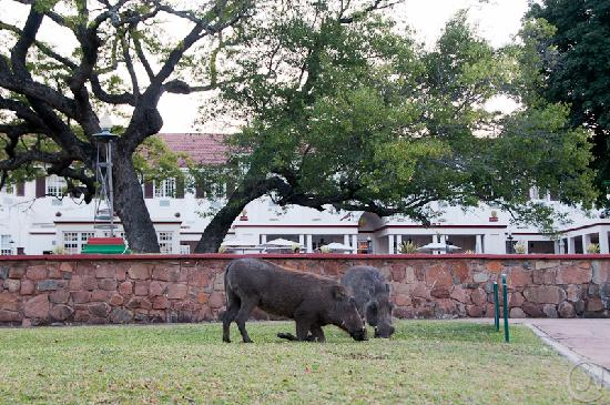 The Victoria Falls Hotel: warhogs on the lawn