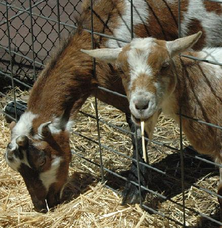 Cottages at Point Reyes Seashore: Friendly goats at Inverness Valley Inn