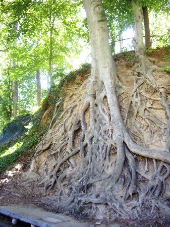 Greenville, Carolina Selatan: Interesting tree root system