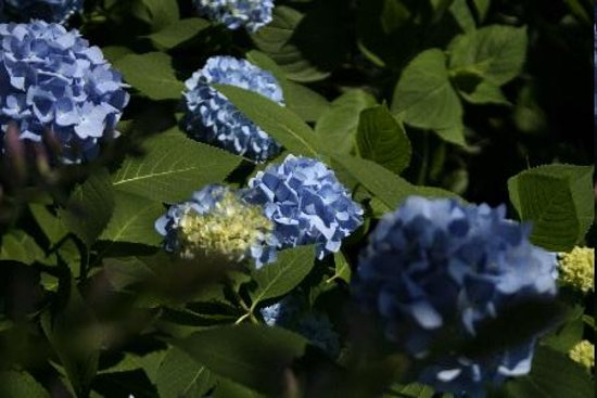 The Inn at the Peak: Hydrangea bushes dotting the property