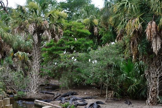 St. Augustine Alligator Farm Zoological Park: Rookery