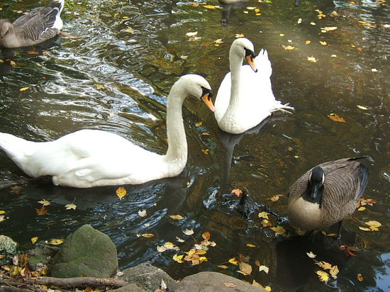 Bear Mountain, État de New York : Swans at the zoo