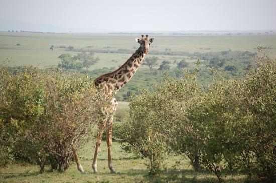 Wildlife Kenya Safaris - Day Trips: On the Maasai Mara