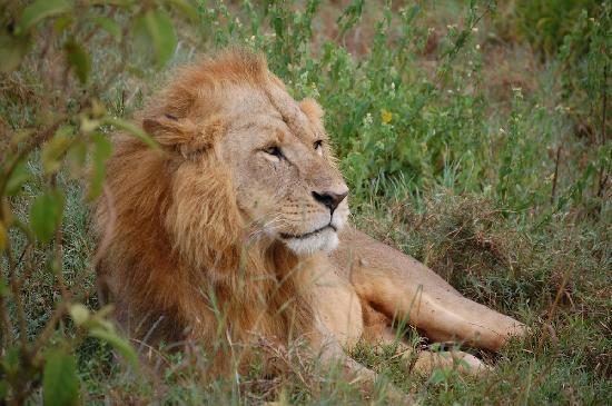Wildlife Kenya Safaris - Day Trips: The King