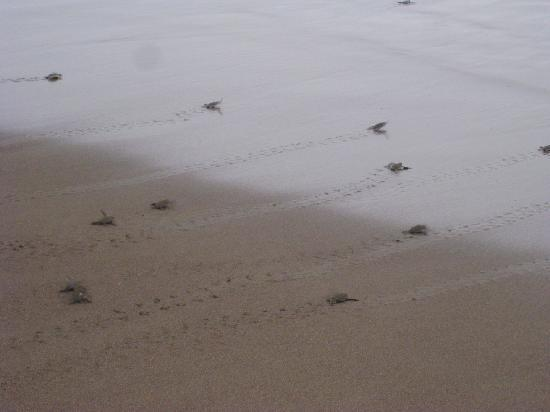 provinsen San Jose, Costa Rica: Sea Turtles make there way to the sea!