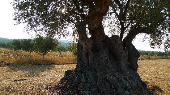 Eumelia Organic Agrotourism Farm & Guesthouse: olive tree