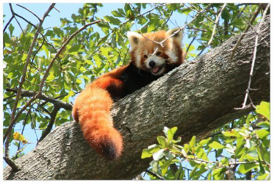 Virginia Zoo: Red Panda in a tree.