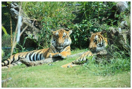 Norfolk, Wirginia: Tigers relaxing in the sun.