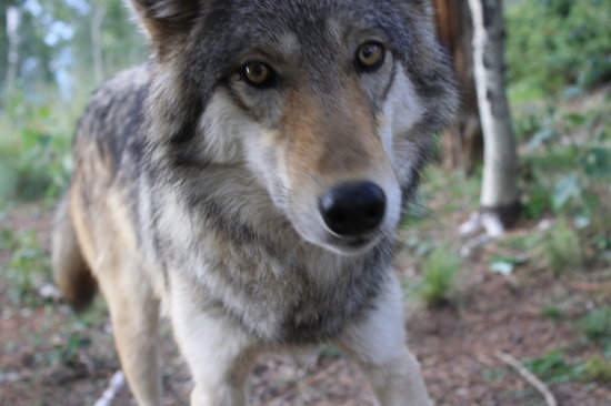 Colorado Wolf and Wildlife Center : closeup