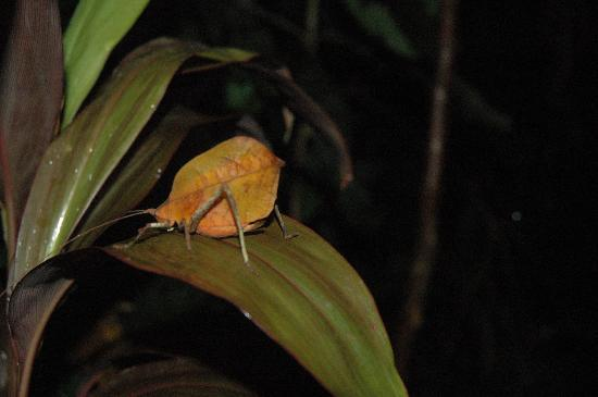 Drake Bay, Costa Rica: leaf bug- never would have seen it.