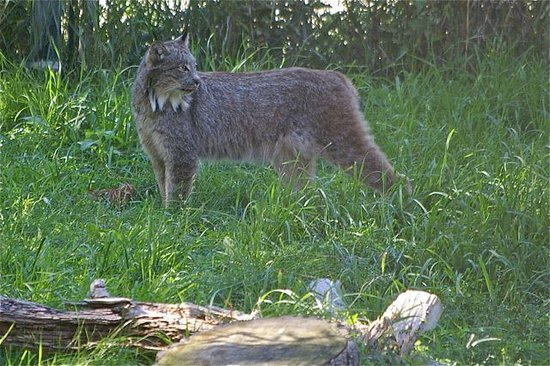 Kamloops Wildlife Park: lynx