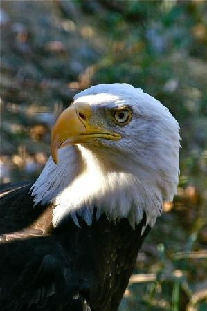 Kamloops Wildlife Park: Bald eagle