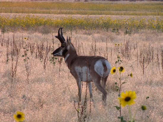 Antelope Island State Park: Antelope Island - Pronghorn and Sunflowers