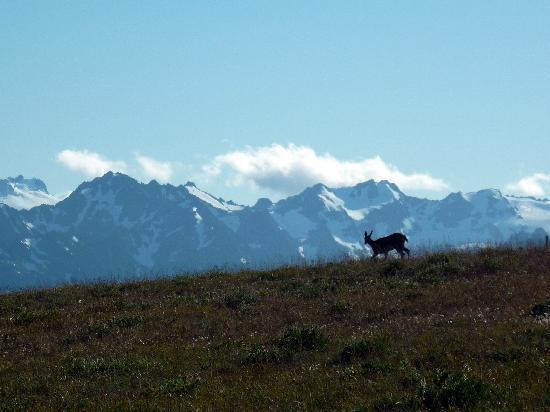 Hurricane Ridge: Dear on the mountain