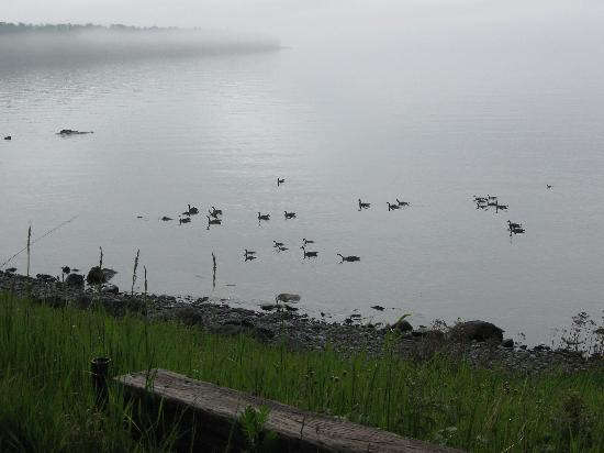 Burlington Bay Campground: Family of young water fowl in Burlington Bay