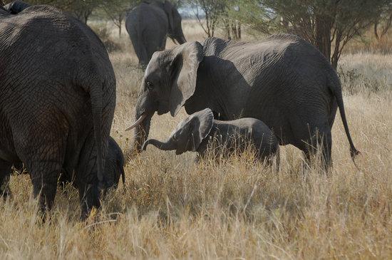 Tarangire National Park, แทนซาเนีย: elephants