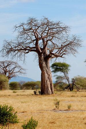 Tarangire National Park, แทนซาเนีย: baobob tree
