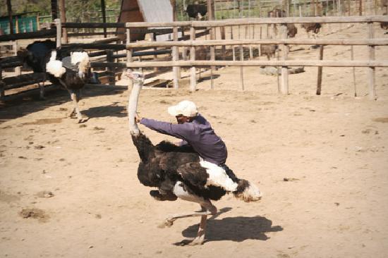 Backpackers Paradise & Joyrides: Ostrich Jockey