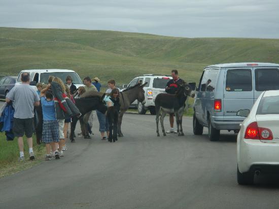 Custer State Park: Burros