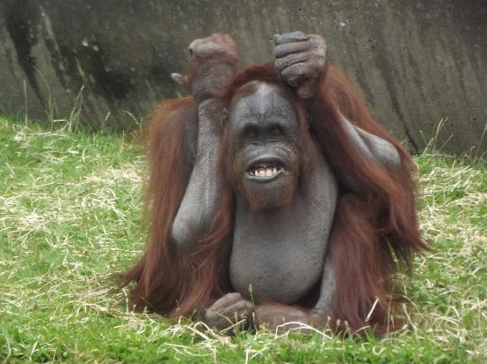 Blackpool Zoo : Funny Orangutan