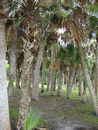 Manatee Hammock Campground: Palms near the water