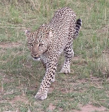 Governor's Camp: Leopard just 6ft away
