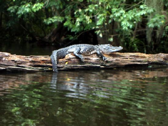 Thonotosassa, FL: Baby gator sitting in the sun