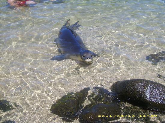 Kauai Sea Tours: Our friend the Monk Seal