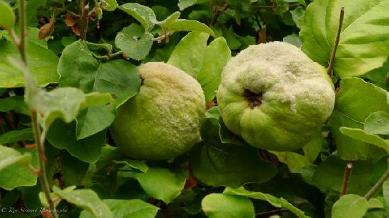 Applewood Inn: Pears at the ready