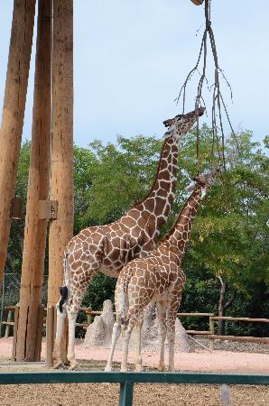 Denver Zoo: Giraffe and its baby!