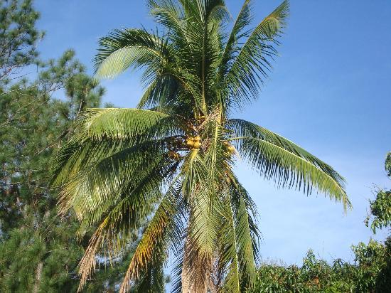 Granadilla Villa: Coconut palm is part of the large grounds.