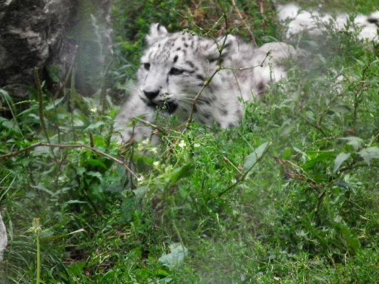 Krakow Zoo (Ogrod Zoologiczny) : Snow Leopard