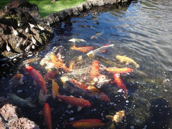 The Westin Princeville Ocean Resort Villas: daily 9:30am feeding of the Koi