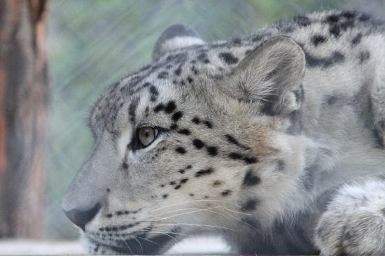 Cape May County Park & Zoo: Snow Leopard