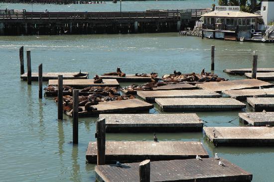 San Francisco Bay: sea lions at the Pier 39 docks in the San Fran Bay