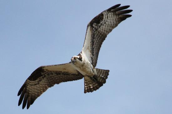 Edwin B. Forsythe National Wildlife Refuge: Osprey