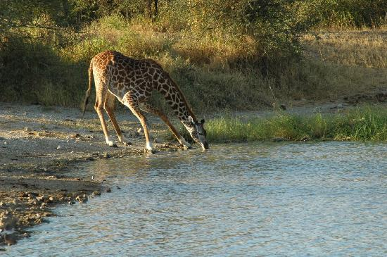 Manyara Ranch Conservancy: drinking acrobate