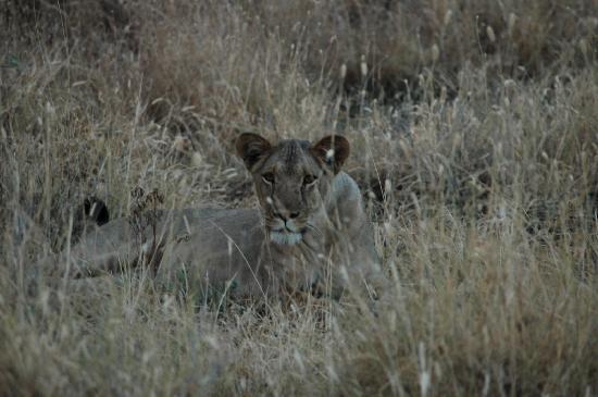 Manyara Ranch Conservancy: Ma première lionne
