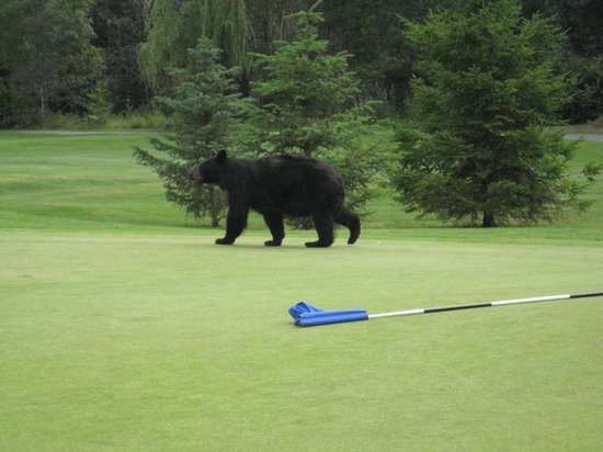 Whistler Golf Club : Black bear on the 8t;h green