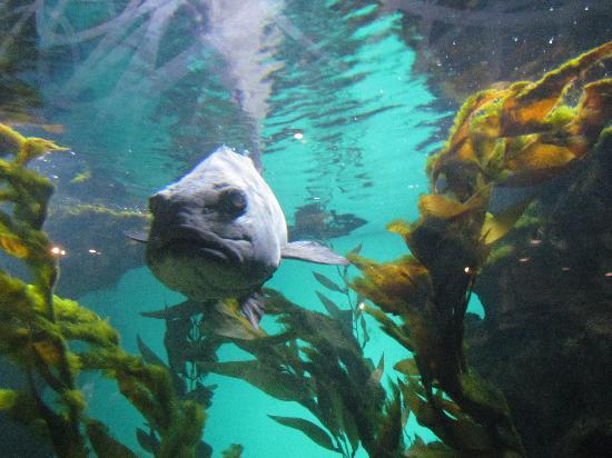 California Academy of Sciences: Giant Sea Bass