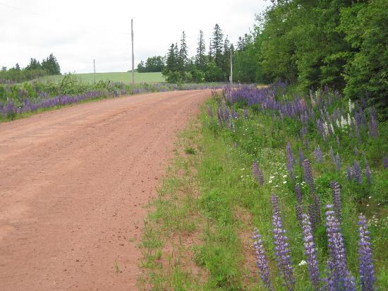 The Orient Hotel: Wild Lupines growing along roadsides