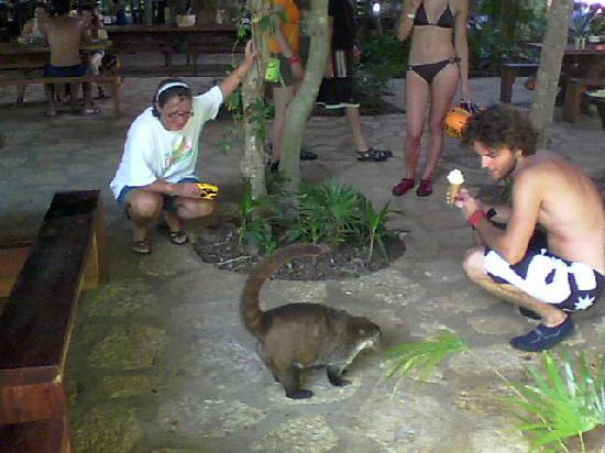 Xplor Park: coati in the restaurant