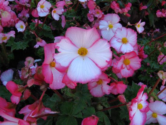 The Butchart Gardens: Don't remember the name of these flowers but I liked them.