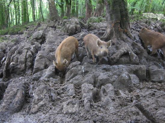 Craggaunowen: THe wild boars were cute - but VERY smelly!