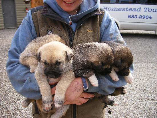 Cute Puppies Picture Of Husky Homestead Denali National Park - Husky homestead