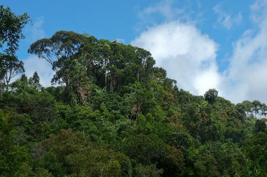 Sinharaja Forest Reserve: Sinharaja tree roof
