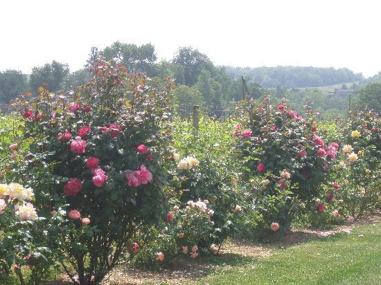 Domaine de Blaignac: Les rosiers et les vignes