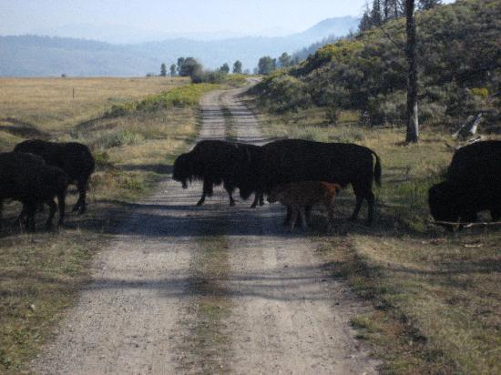 Wildlife Expeditions of Teton Science Schools: Bison crossing onto Teton plains