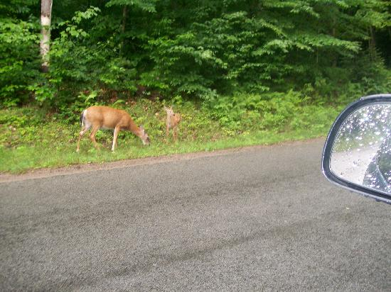 Old Forge Camping Resort: Deer are plentiful and love treats.